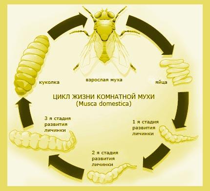 Цикл жизни комнатной мухи