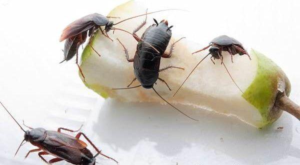 Появление тараканов в антисанитарных условиях