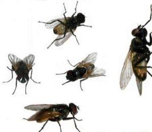 мухи водятся в выгребных ямах