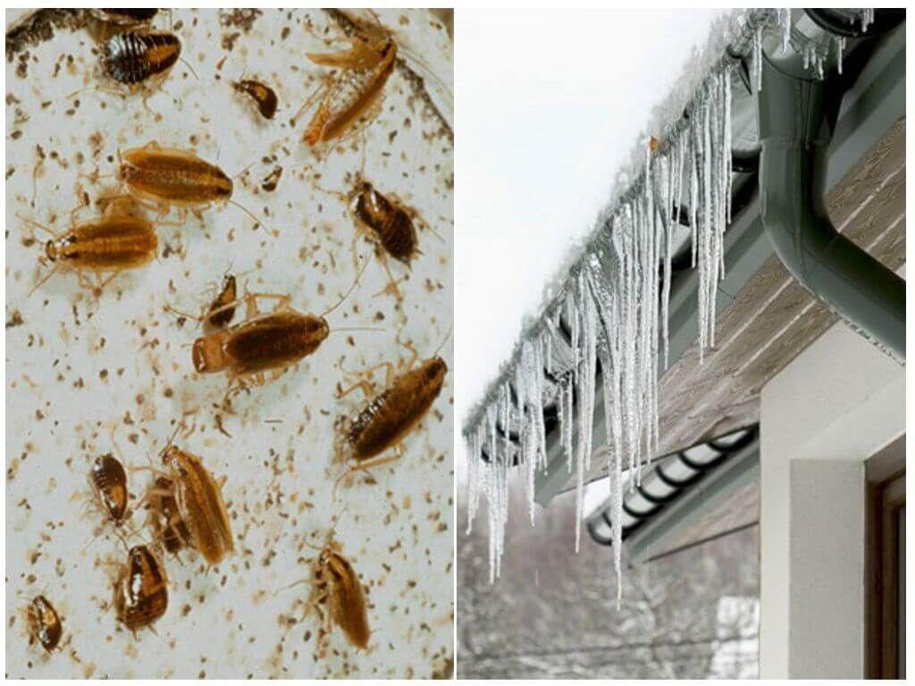Тараканы погибают от холода