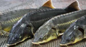 3 рыбки