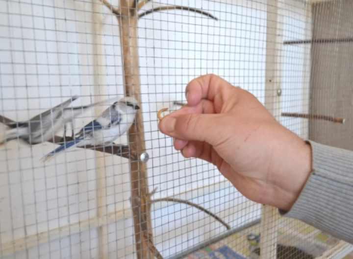 Многие птицы также абсолютно не против полакомиться тараканами