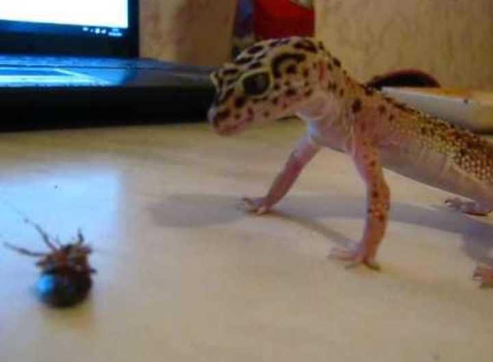 Игуаны и хамелеоны наиболее известные из ящериц