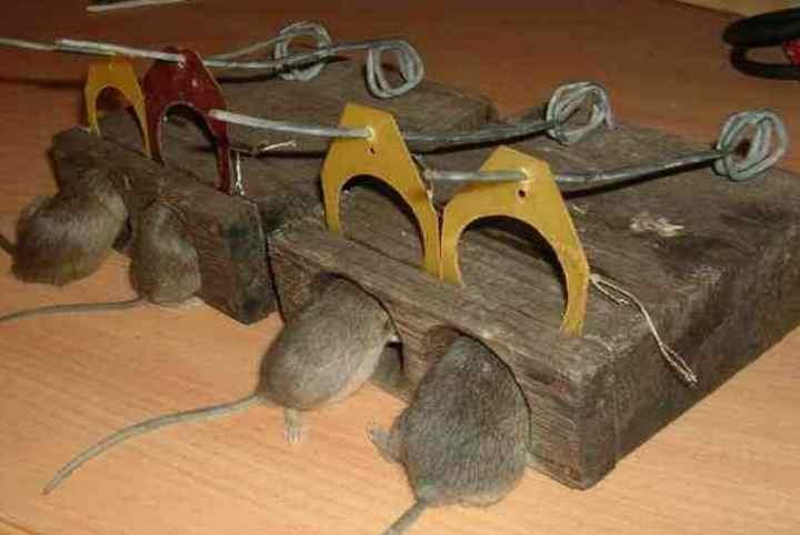 Вред от крыс