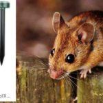 Почему мыши появляются в домах?