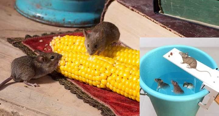 Чтоб в вашем жилище не завелись мелкие грызуны, достаточно всегда содержать помещение в порядке