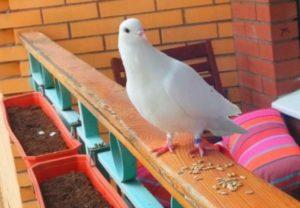 Голуби – милые птицы