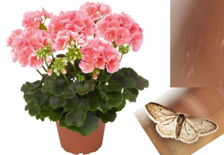 Тот же принцип действия и у комнатного растения пеларгония