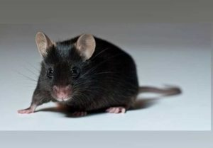 Один из самых современных способов борьбы с мышами и крысами