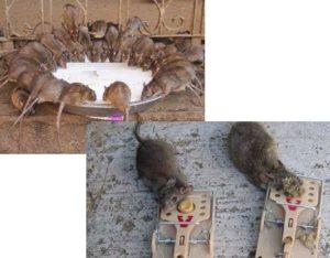 Такие составы приобретаются в специализированных отделах магазинов, могут быть применимы как против грызунов, так и против иных вредителей.