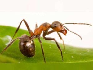 матка может не погибнуть и муравьиная колония, возможно, вновь вернётся назад
