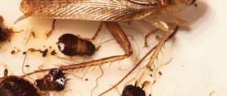 Доступность еды. Эти насекомые относятся к числу неприхотливых существ