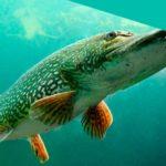 СПРАВКА! После этого рыбу будет намного легче почистить от чешуи.